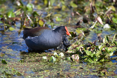 "Common Moorhen – ForagingGallinula chloropus February – Texas L=14""  ......   WS=21""......     WT=11 oz Order: Gruiformes (Rails, Cranes, and Allies) Family: Rallifae (Rails, Gallinules and Coots) The Common Moorhen is a rail with behavioral and appearance characteristics intermediate between the American Coot and Purple Gallinule. It is widespread in the Eastern United States and locally in the Western U.S. The mature bird has a striking appearance, especially its bright red and yellow bill, and makes a variety of loud and unusual calls. Common Moorhens forage for plant materials and micro invertebrates on the water's surface, along the shoreline, and in submerged plants.   In addition to inhabiting the continental United States there is an endemic subspecies with very similar appearance in Hawaii. In Hawaiian mythology, a moorhen brought fire to humans and in the journey the fire scorched the bird, explaining the red on the bill and forehead(†).  (†) Pukui, Mary Kawena, 'Olelo No'eau: Hawaiin Proverbs & Poetical Sayings. Honolulu: Bishop Museum Press, 1983"