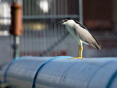 "Black-crowned Night-Heron – Inner city Houston,Texas Nycticox nycticox June – Texas L=25""......     WS=44""......     WT=1.9 lb  Order: Ciconiiformes (Herons, Ibises, Storks, New World Vultures, Allies) Family: Ardeidae (Herons, Egrets, Bitterns) Black-crowned Night-Herons feed on a variety of aquatic organisms, especially fish. They prefer shallow vegetated creeks, ponds, marshes and wetlands and, as their name implies, they prefer to feed at night. However, they do extend their feeding period into daylight hours when raising their young which occurs simultaneously with short days in North America.   The bird pictured here was feeding during mid-morning and was found far from its normal habitat."
