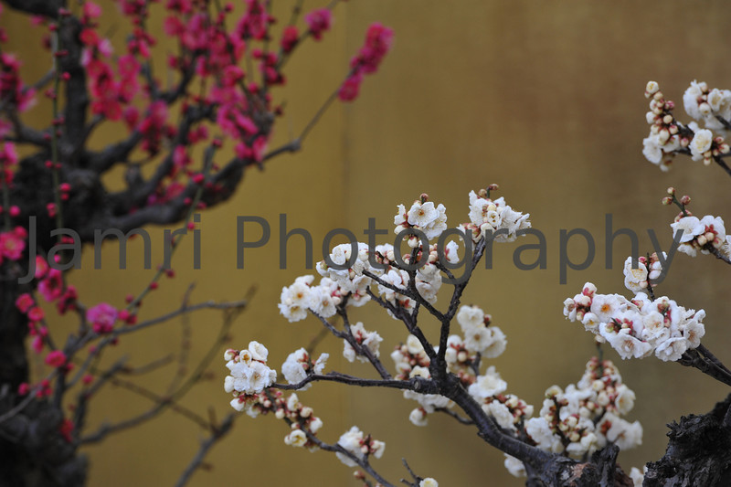 February - Bonsai Ume (plum) Blossom.<br /> In the second half of February as the maximum temperatures start to rise to just above 10C and spring rains start to fall, comes blooming of Ume (plum blossoms).