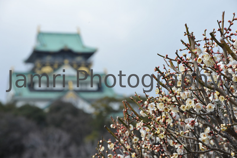 February - Plum (Ume) Blossom outside Osaka Castle.
