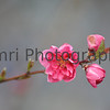 March - Momo (Peach) Blossom.<br /> While the month of March is cold enough occasionally have snow falls, on average the weather starts warm just a little from winter bringing many flowers out including these peach blossoms.