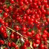 December - Red Berries.<br /> Traditionally used in New Year's Decorations in Japan, also now used in Christmas Decorations.