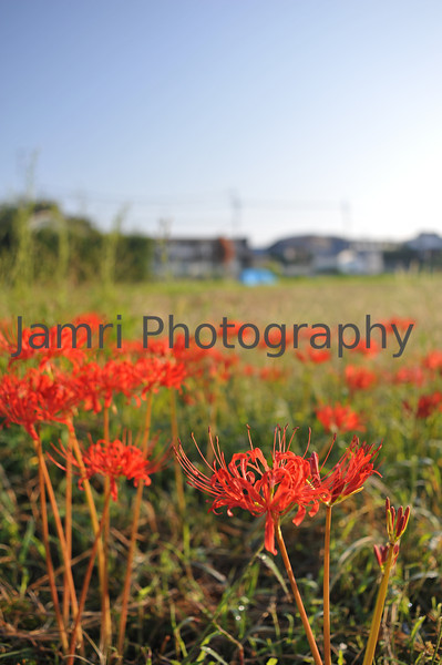 October - Red Spider Lilies (Higanbana)<br /> These poisonous flowers bloom around the beginning October in Nagaokakyo. Some believe they symbolise the spirits of the dead departing.