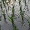 June - Freshly Planted Rice.<br /> The beginning of June sees the temperatures and humity rise sharply becoming somewhat oppressive until the coming of the rainy season towards the middle of the month. With the rains the temperatures drop of a little and fields are flooded ready for planting.