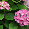 June - Pink Hydrangeas.<br /> The rainy season also brings about the blooming of the hydrangeas with many rich and changing colours.