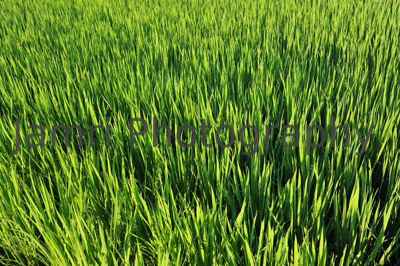 July - Green Blades of Growing Rice.<br /> The rainy season continues well in to mid July and fields of growing rice give Japan it's richest greens of the year.
