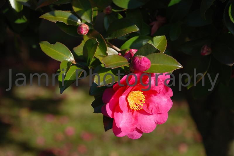 December - Camellia.<br /> These Hot Pink Camellias start to bloom around mid December in this part of Japan and reach their peak around the time between Christmas to New Year.