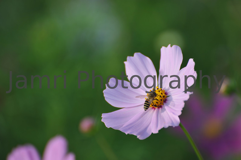 October - Bee on a Cosmos Flower.