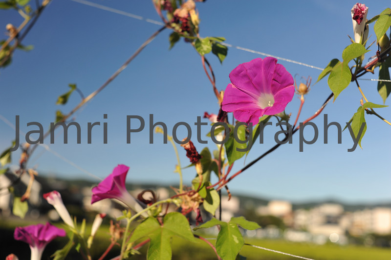 August - Purple Morning Glory on a Vine.
