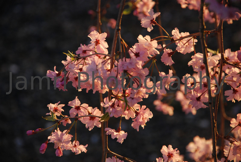 April - Shidarezakura (Weaping Cherry).<br /> Catching the last rays of sun before sunset.