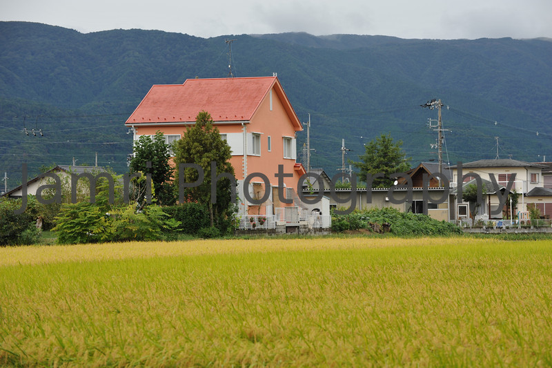 September - Ripening Rice Field.