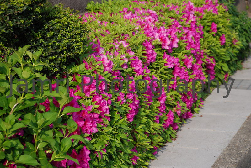 May - Hot Pink Azaleas.<br /> The early part of May is the time when then larger flowered Azaleas come in to bloom in reds, pinks, and whites. Outside of the big cities, many traditional houses are hedged with Azaleas making a colourful scene along the roads during May.