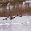 Wildlife in Stepping Stone Falls in Flint Michigan Photograph 24