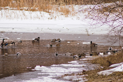 Wildlife in Stepping Stone Falls in Flint Michigan Photograph 3