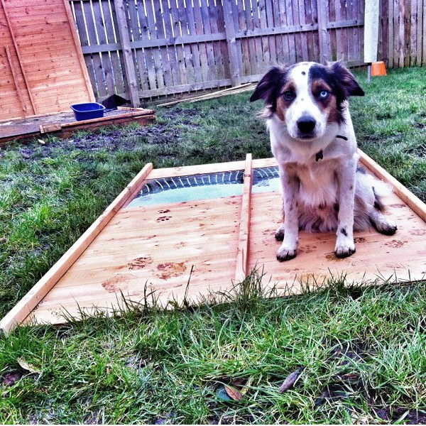 #merlin, the proud owner of the front of a #shed. He actually discovered that the door makes a great aid for practising A-frame contacts! He worked this out whilst I was unscrewing it @collie_wobble noticed him doing it. We're going to keep the door