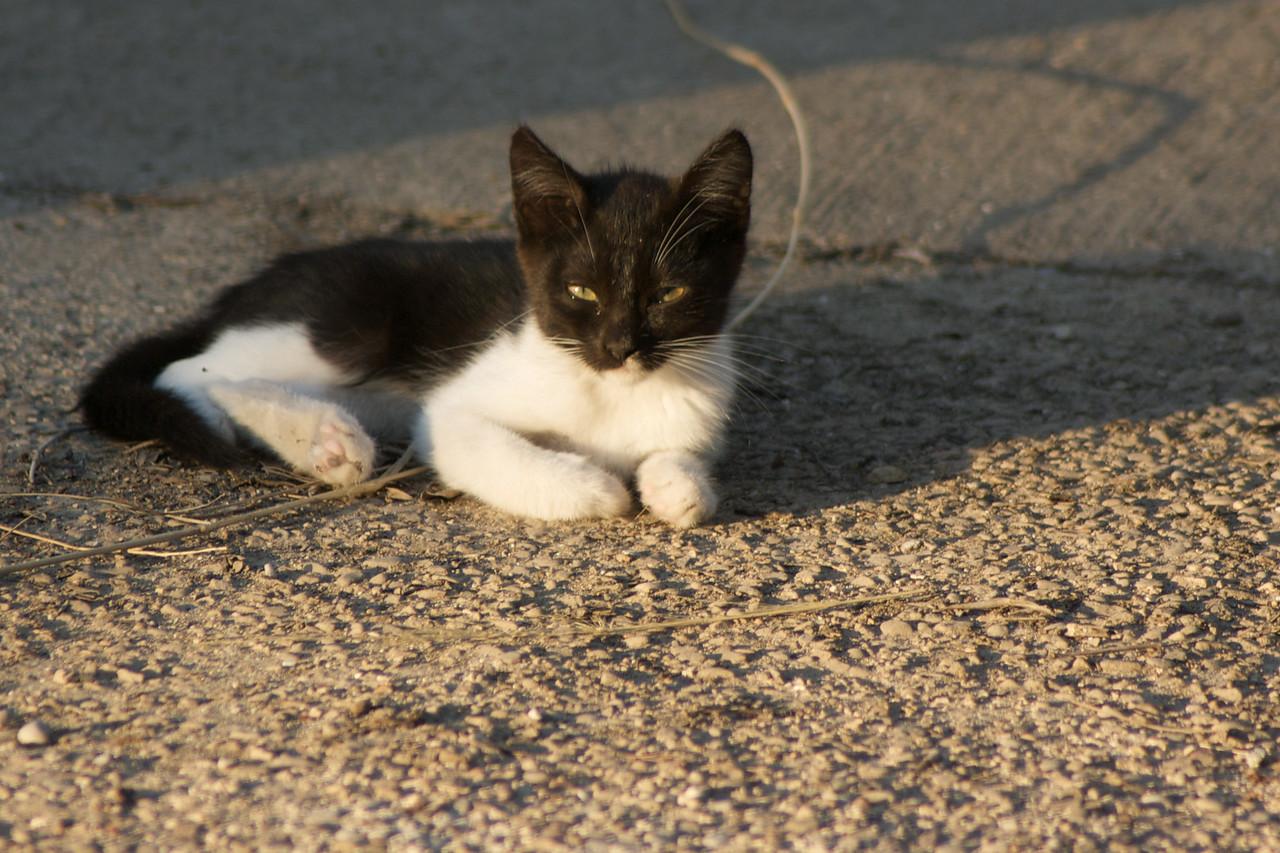 Olympic kitten