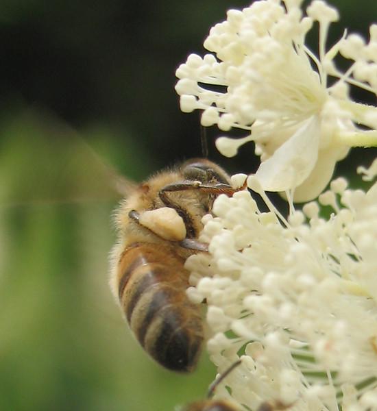 Honeybee and Pollen Basket