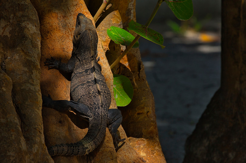 ~ Iguana ~