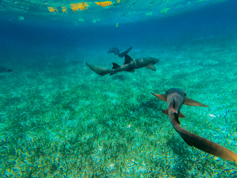 ~ Shark Tail ~