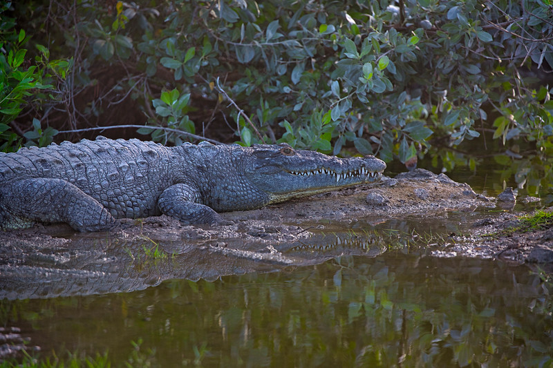 ~ Mangrove Croc ~