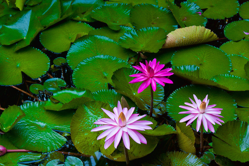 ~ Hairy Water Lily's ~