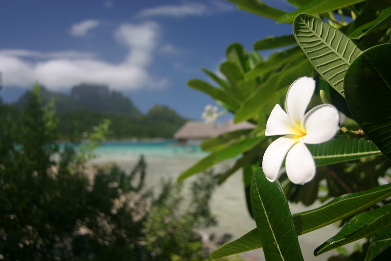 Plumeria close up with the main island of Bora Bora serving as the backdrop