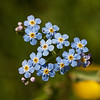 Water Forget-me-not - Engforglemmigej