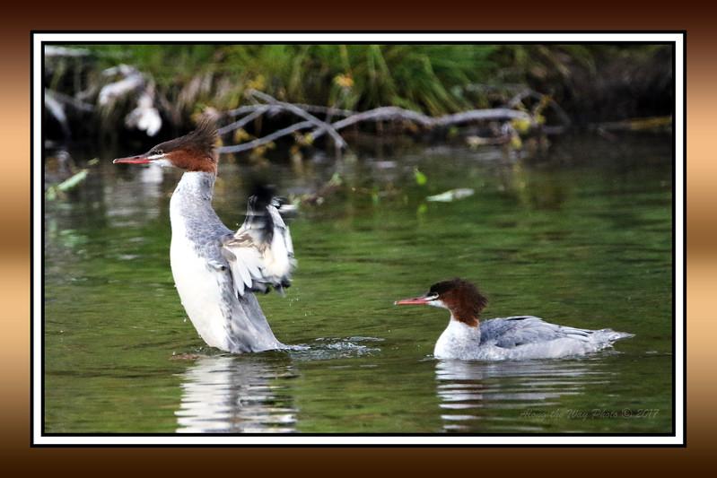 Marganza Ducks 1324 Bordered