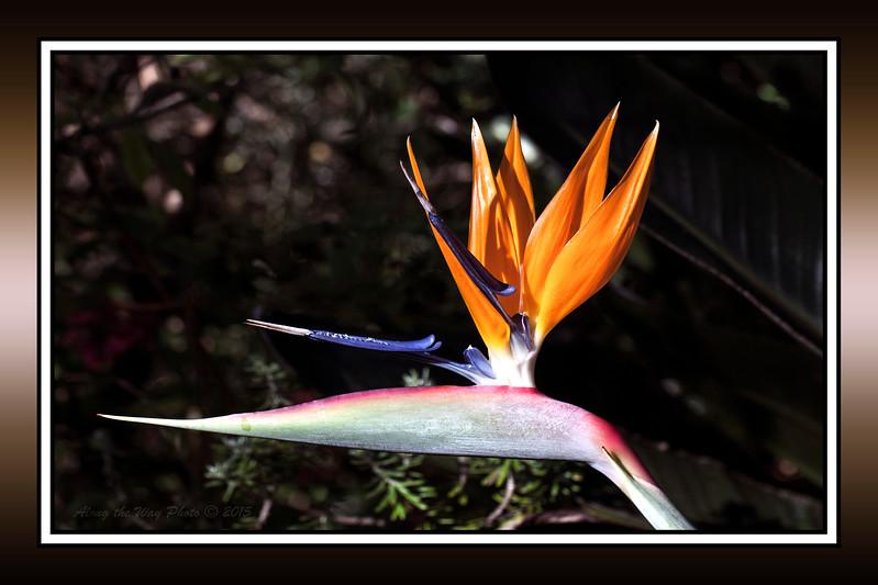 Bird of Paradise- 7396Border