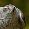 Goshawk female,