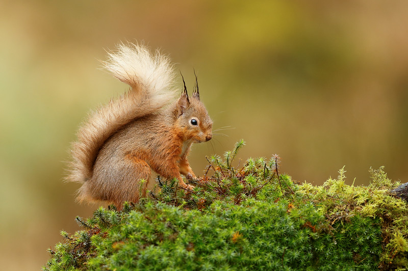 Red squirrel scotland