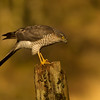 Sparrowhawk, female