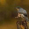 Sparrowhawk, male
