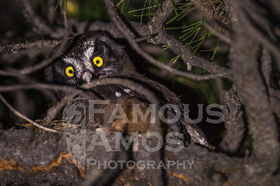 Boreal Owl Babies