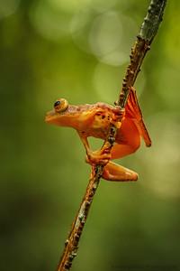 Harlequin Flying Frog-( Rhacophorus pardalis )