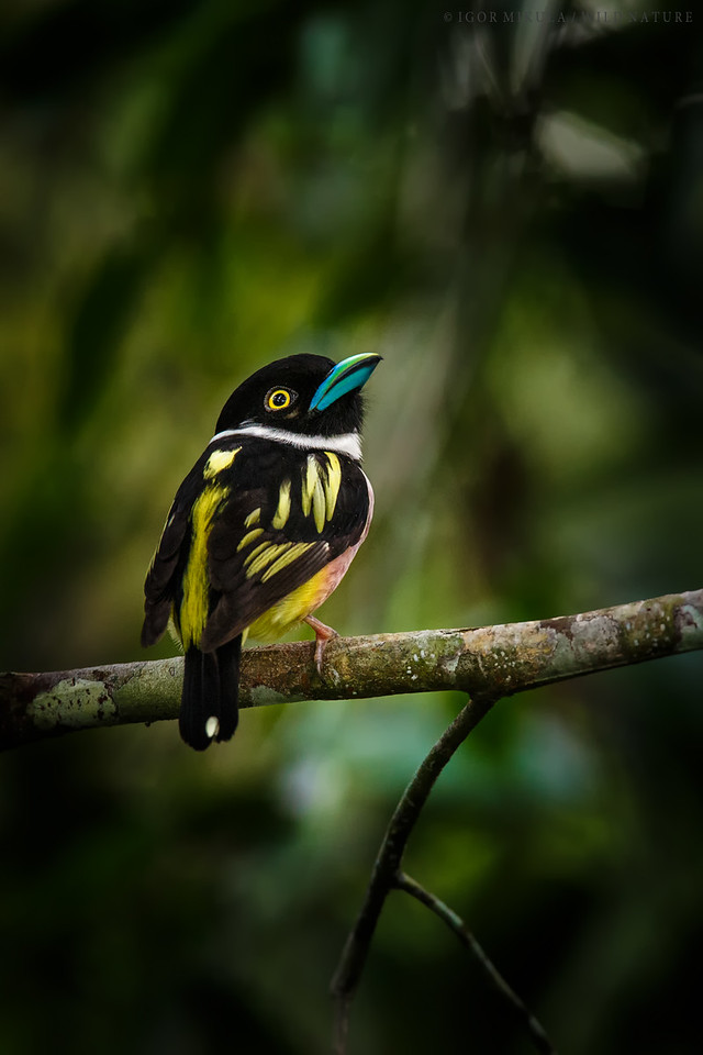 Black and yellow broadbill ( Eurylaimus ochromalus )