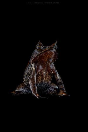 Borneo Horned Frog - ( Megophrys nasuta )