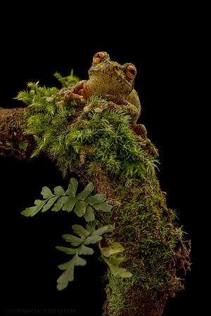 Green bush frog (Philautus bunitus)