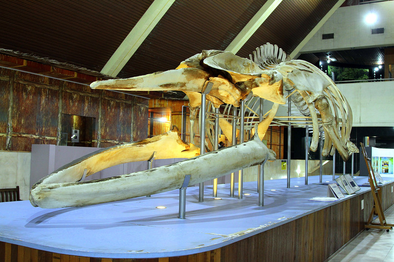 A large Bryde's Whale at the Sabah Museum