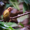 Rufous Piculet (Tiny Woodpecker)
