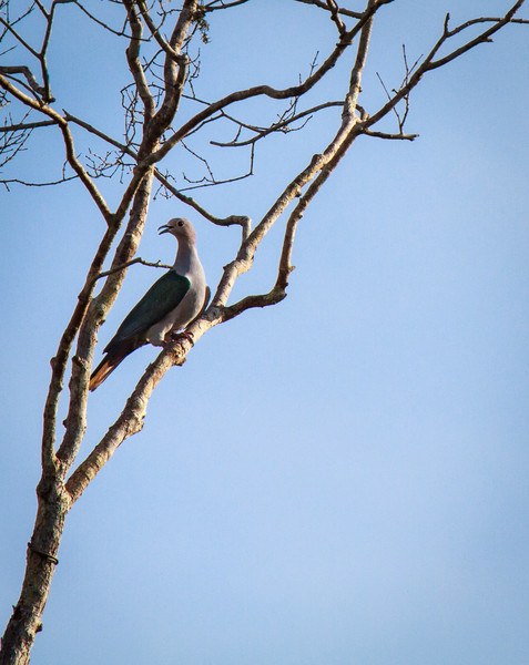 Imperial Pigeon