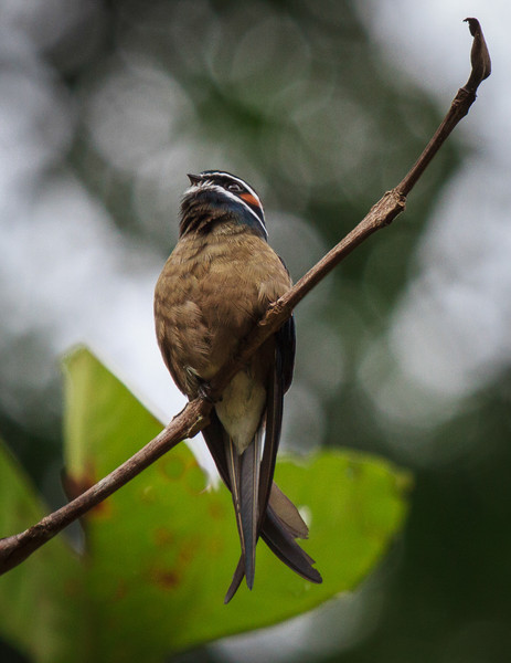Whiskered Swiftlet