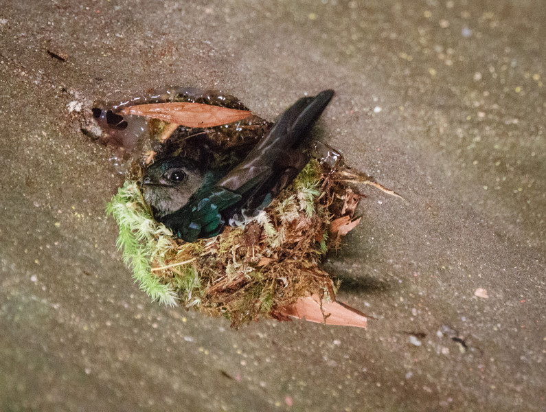 Edible-nest Swiftlet