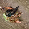 Edible-nest Swiftlet