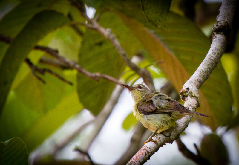 Red-throated Sunbird (female)