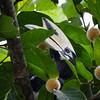 Pied Hornbill