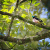 Black and yeollow Broadbill