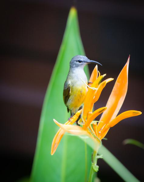 Copper-throated Sunbird (female)
