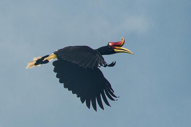 Rainbow Hornbill