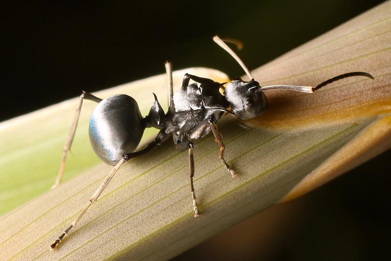 Polyrhachis pruinosa